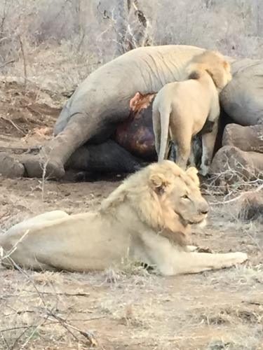 lions eating an elephant