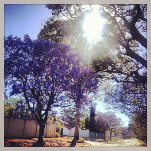 The Jacaranda trees in bloom up my street