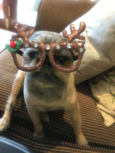 Christmas decorations on a dog